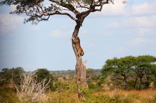 Sudáfrica: la bienvenida del leopardo