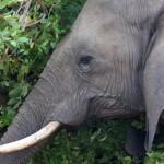 kruger-Elefante