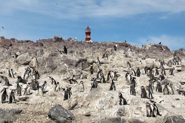 On s'amaguen els pingüins de plomall groc?