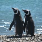 Pingüinos en Caleta Valdés
