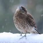 Chimango en la nieve