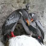 Cormoranes con su cría