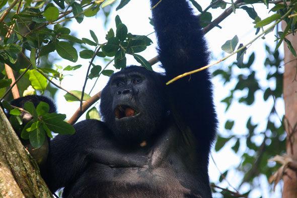 Uganda: l'ultimo rifugio di gorilla