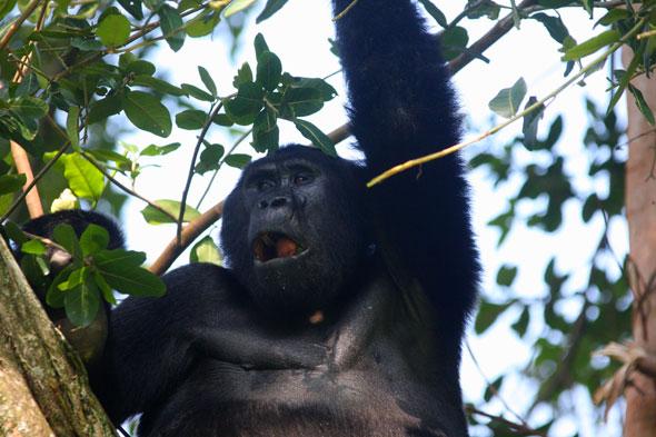 Uganda: el último refugio de los gorilas