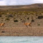 Guanacos al galope siguiendo el bote de los viajeros