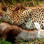 Un guepardo comiéndose un antílope que acaba de cazar