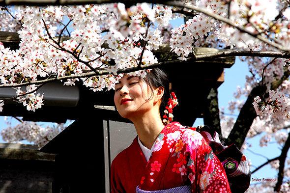 Hanami: isporuka put od trešanja u Japanu