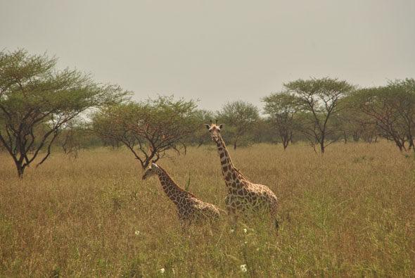 Камерун: Рассмотрим де-лас-jirafas