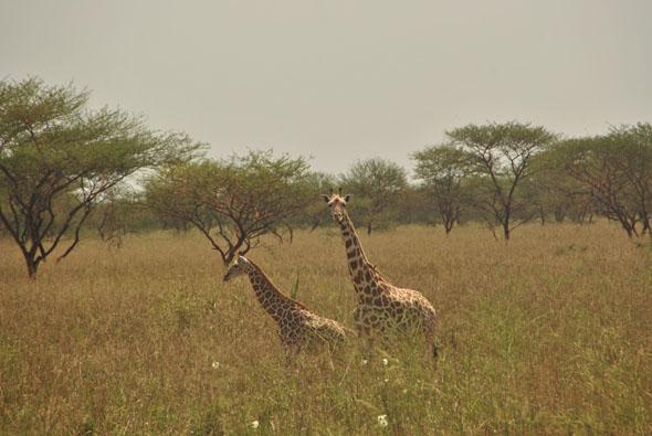 Camerún: las jirafas de Waza