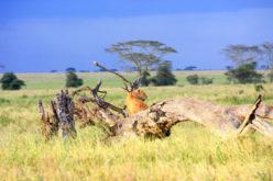 Leona Serengeti