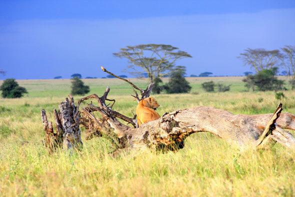 """Serengeti: perfección ea """"piedrocerontes"""""""