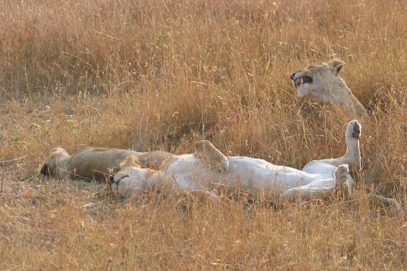 Masai Mara: liberdade das savanas grande