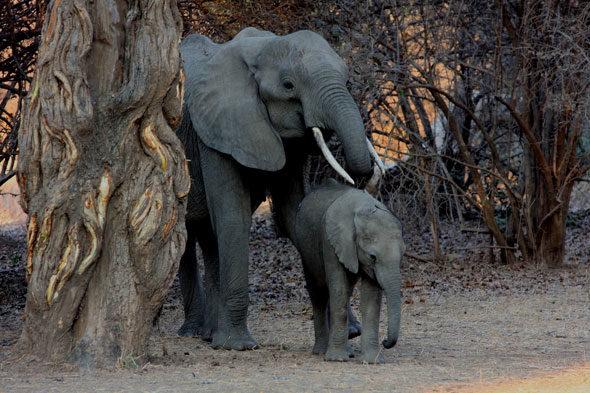 Mana Pools: el ataque del búfalo, la noche de las hienas
