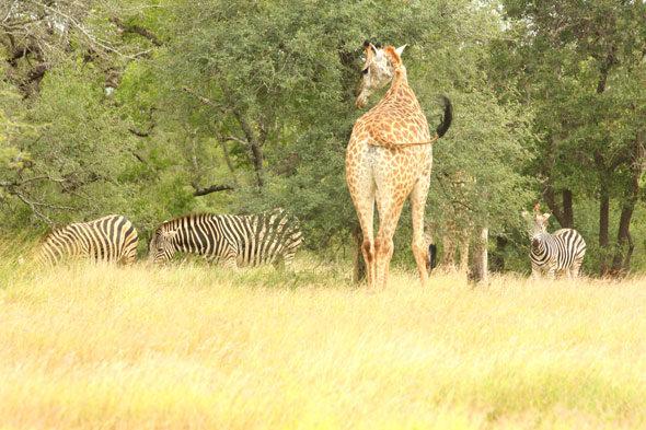Rasizam u Južnoj Africi: Pouka zebra i žirafa
