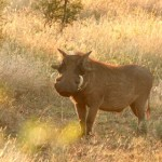 Pumba (ya nadie le llama facóquero o facócero)