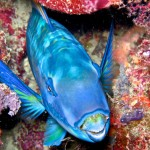 Parrotfish-sleeping-IV