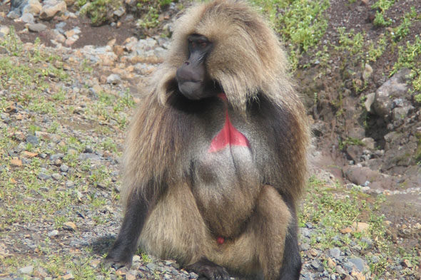 Simien: entre os babuínos do corazón de sangrado