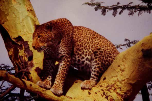Kafue National Park: el fracaso del leopardo