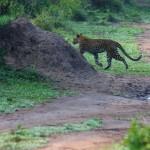 Último encuentro con el leopardo